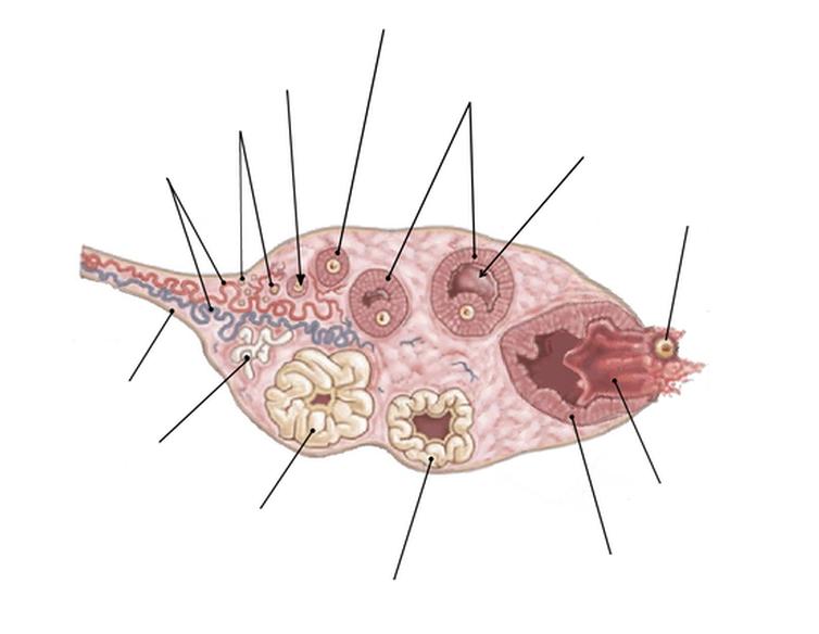 Cycle menstruel de la femme, ovulation et variations