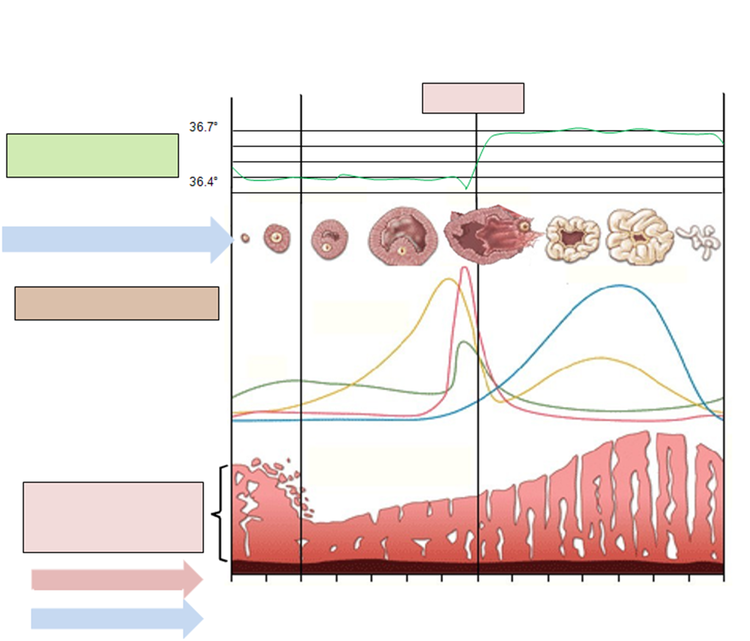cycle menstruel de la femme ovulation et variations hormonales. Black Bedroom Furniture Sets. Home Design Ideas
